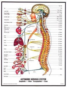 Autonomic-nervous system