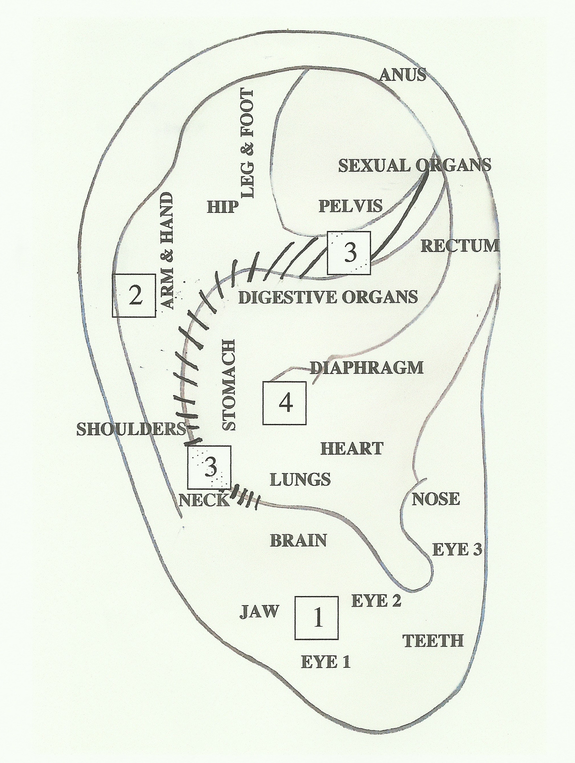 EAR-BOARD Anatomical Labels